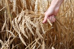Hand in wheat field. Harvest time stock images
