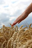 Hand in wheat field. Harvest time royalty free stock photos