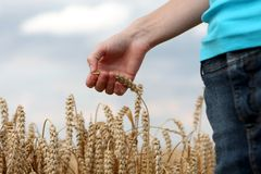 Hand in wheat field. Harvest time Royalty Free Stock Photography