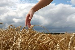 Hand in wheat field. Harvest time Stock Photo