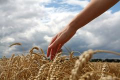 Hand in wheat field. Harvest time stock image