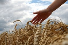 Hand in wheat field. Harvest time Royalty Free Stock Image