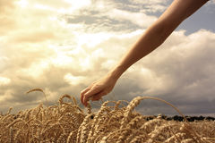 Hand in wheat field Royalty Free Stock Photo