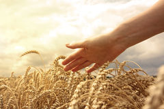 Hand in wheat field Stock Images