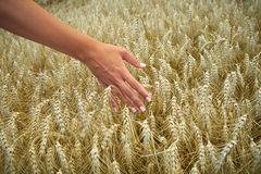 Hand in Wheat Stock Photos
