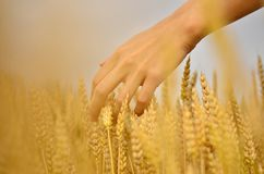 Hand in the wheat field Stock Images