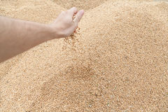 Hand with wheat grain Stock Photo