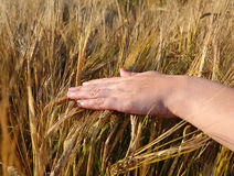 Hand and wheat Royalty Free Stock Image