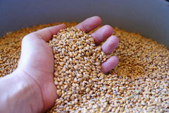 Hand in wheat kernels. Human hand partially obscured scooping wheat kernels from the top of a pile Royalty Free Stock Photo