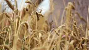 Hand on wheat Royalty Free Stock Photography