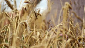 Hand on wheat stock footage