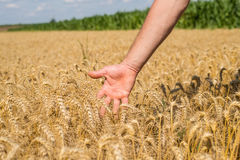 Hand and wheat. Hand of young farmers in the ear of wheat Stock Photo