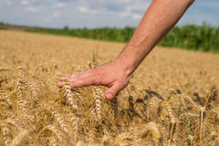 Hand and wheat. Hand of young farmers in the ear of wheat Stock Photography