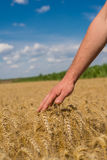 Hand and wheat. Hand of young farmers in the ear of wheat Stock Images