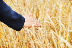 Hand in a wheaten field Royalty Free Stock Image