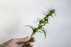 Cannabis seeds inside the test tube A hand in a white medical glove holding a green hemp sprout. The concept of marijuana and stock photography