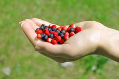 Hand with Wild Berries. Female hand holding a handful of wild berries - strawberry and blueberry. Green grass background Royalty Free Stock Photos