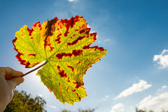 Hand with wine leaf in autumn colouring Stock Images