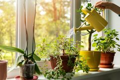 Free Hand With Water Can Watering Indoor Plants On Windowsill Royalty Free Stock Photo - 146886105