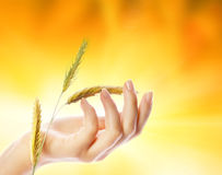 Hand With Wheat Herb Stock Image