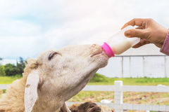 Hand woman feeding milk bottle to cute sheep Royalty Free Stock Images