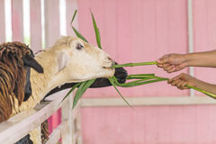 Hand of woman feeding sheep Royalty Free Stock Image