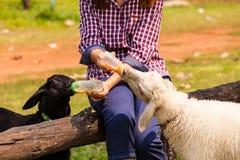 Hand of woman feeding sheep Royalty Free Stock Photos