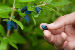 Hand of a woman gathering berries honeysuckle Royalty Free Stock Photos