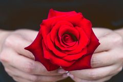 Hand of woman give a red rose. Valentine`s Day Royalty Free Stock Photo