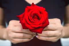 Hand of woman give a red rose. Valentine`s Day Stock Photo