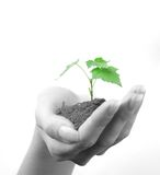 Hand of woman and green sprout. Green sprout of tree in palm of young woman Stock Photography