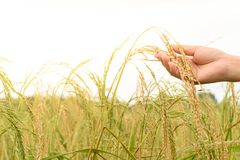 Hand of woman holding rice in paddy field Stock Photography