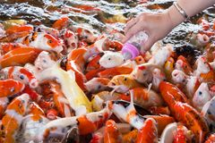 Hand of a woman holds a feeding bottle for a Koi fish, Fancy Car. Ps Fish in Pond.Motion blur pictues stock images