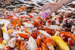Hand of a woman holds a feeding bottle for a Koi fish, Fancy Car. Ps Fish in Pond.Motion blur pictues stock photos