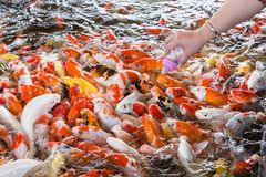 Hand of a woman holds a feeding bottle for a Koi fish, Fancy Car. Ps Fish in Pond.Motion blur pictues stock photography