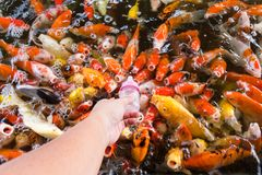 Hand of a woman holds a feeding bottle for a Koi fish, Fancy Car. Ps Fish in Pond.Motion blur pictues royalty free stock image