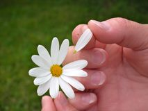 Hand flaying daisies. Hand of woman leafing a daisy with blurred and green lawn background. Does he love me or does he not love me stock photos