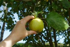 Pick an apple on an apple tree royalty free stock photos