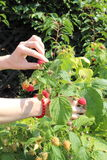 Hand of woman reaps the fruits in sunny garden Stock Image