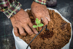 Hand woman sowing seedling of watermelon. Stock Photo