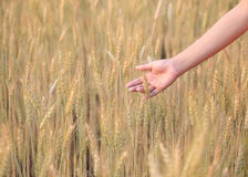 Hand woman touch barley field Royalty Free Stock Photos