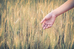 Hand woman touch barley field of agriculture Royalty Free Stock Photography