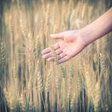 Hand woman touch barley field of agriculture Royalty Free Stock Images