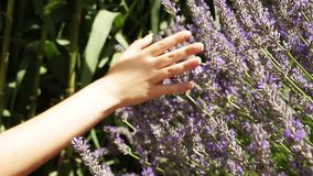 Hand of a woman touching a lavende stock video footage