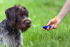 Hand of woman training young dog with clicker Royalty Free Stock Image