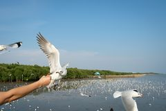The hand of a woman who feeds the seagulls to eat at The Bang Pu Stock Image