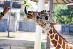 Hand of women feeding Giraffe Stock Photo