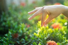 Hand women touch flower in the sunshine Stock Photography