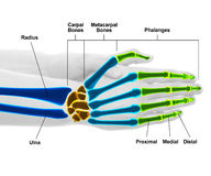 Hand and Wrist Bones - Studio shot with 3D illustration isolated. On white Royalty Free Stock Photos