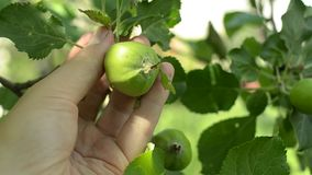 Hand of a young farmer holding unripe apple in an orchard. Hand of a young farmer holding unripe green apple in an orchard. Closeup shot stock video footage
